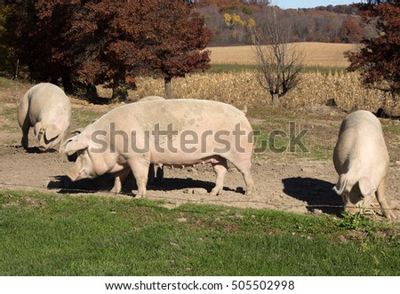 Several large pigs on a scenic Wisconsin farmstead.