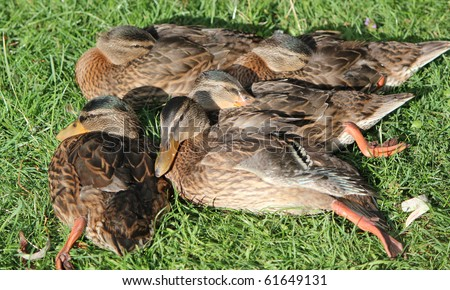 Several mallard ducks sleeping together on the green grass