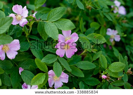 Several pink dog-roses on a green bush  - stock photo