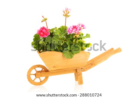 Several pink Geraniums in wooden wheel barrow isolated over white background - stock photo