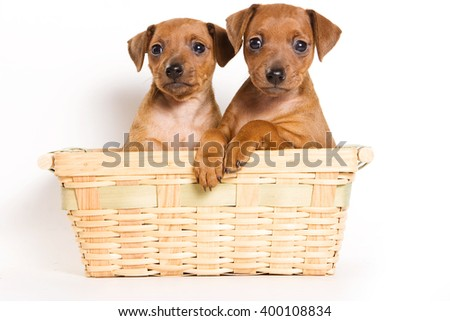 Several Red pinscher puppy and shopping cart (isolated on white)