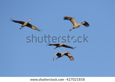 Several Sandhill cranes flying against a blue sky - stock photo