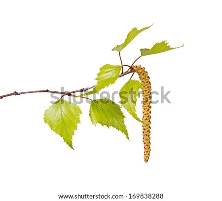 Several spring leaves of a birch tree (Betula species) and a flower catkin isolated against a white background - stock photo