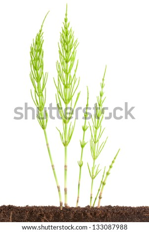 Several sprouts of Horsetail. Isolated on a white. - stock photo