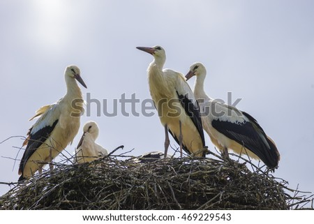several storks in the nest
