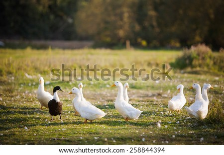 several white domestic ducks on a pond - stock photo
