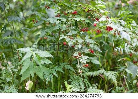Several wild red raspberries
