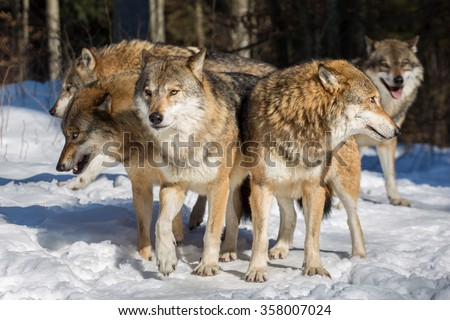 Several wolves standing together with their heads sticking into multiple directions in winter woods - stock photo