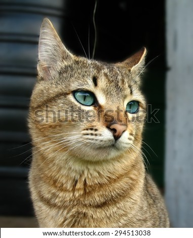 Severe pensive tabby cat with blue eyes - stock photo