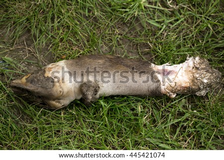severed animal leg of pig with hoof on foot and fur lying on green grass