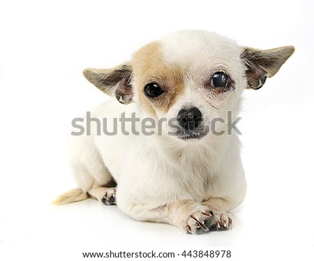sewn eyes chihuahua in a photo studio  - stock photo