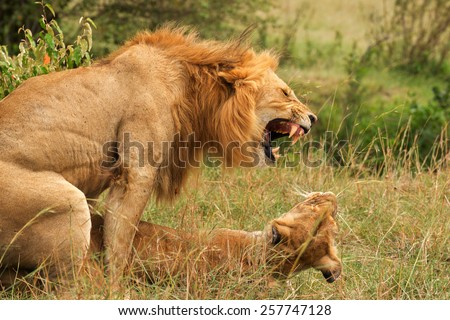 sex lions - stock photo