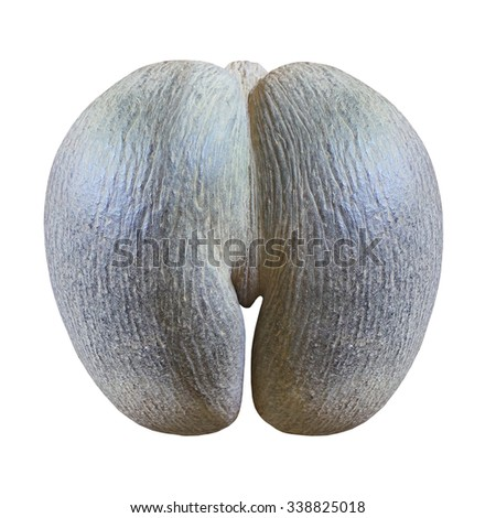 Seychelles sea coconut Lodoicea, commonly known as coco de mer, or double coconut isolated on white background. The fruit is used in Ayurvedic medicine and also in traditional Chinese medicine. - stock photo