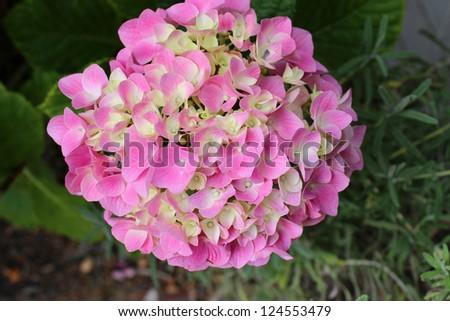 Hortensias resistentes al calor - ¿Hay arbustos resistentes a la sequía?
