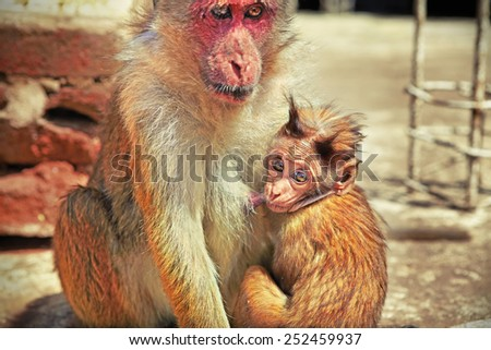 Shaggy baby monkey looking curiously while suckling its mother's breast