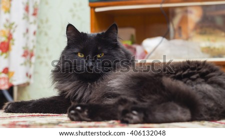 shaggy black cat with long hair and yellow eyes on the carpet
