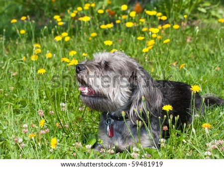 Shaggy dog lying in a field of grass and flowers. - stock photo