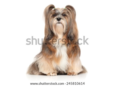 Shaggy Lhasa Apso dog. Portrait on a white background - stock photo