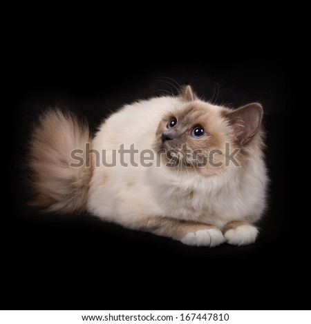 shaggy pedigreed cat with blue eyes - of color point isolated on black background - stock photo