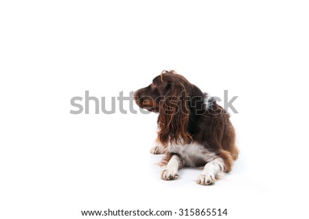 shaggy springer spaniel dog laying down