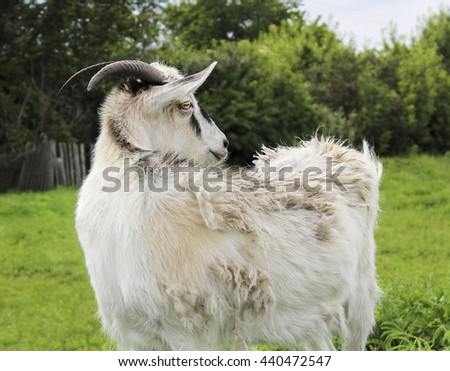 shaggy white goat with black spots on the wool is on the green grass