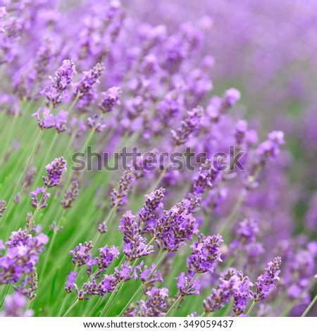 Shallow and selective focus of lavenders are growing in field at Sequim, Washington, US. Sequim is the lavender Capital of the North America. Close-up view beautiful herbal flower. Nature background