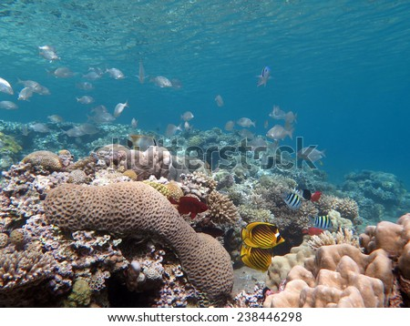 Shallow corals and a school of mojarras, Dahab, Red Sea - stock photo