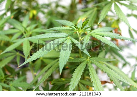 Shallow Depth Of Field, Close Up Views of a Genuine Medical Marijuana, Female Cannabis Sativa  plant isolated on white. Medical Marijuana is now legal in 23 of the United States with more on the way. - stock photo