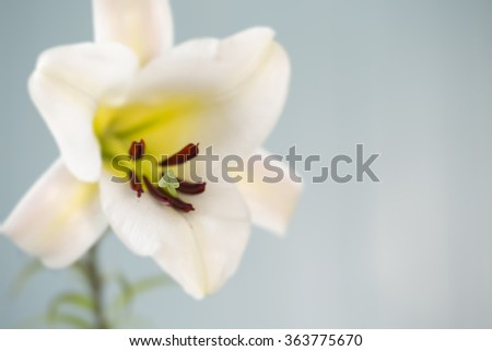 Shallow depth of field used to focus on the stamen or pistil of an Easter Lily. Great for greeting cards, invitations, magazines, or other ideas. Soft and spring colors are in this horizontal format. - stock photo