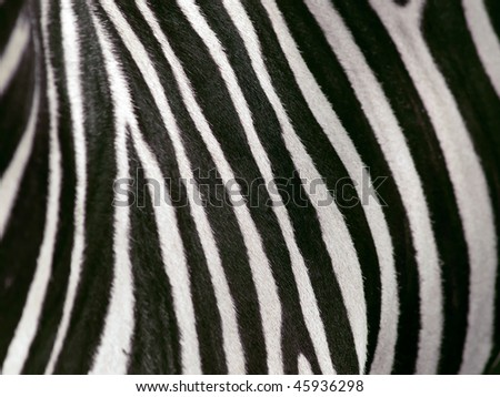 shallow depth of field view of zebra stripes