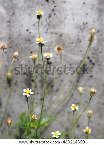 shallow DoF closeup of wild daisy flowers, green grass leaves with light green white wild flowers, grass flowers, near a grey dirty concrete wall as picture background - stock photo