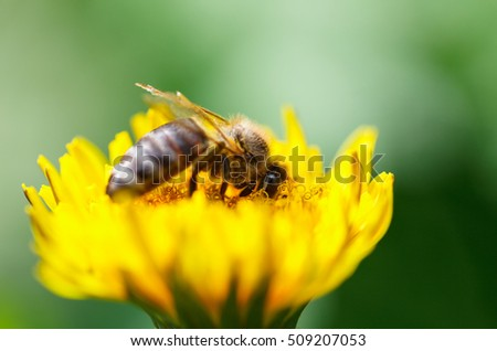 Shallow DOF macro of honeybee (Apis mellifera) pollinating dandelion flower over blur green meadow background
