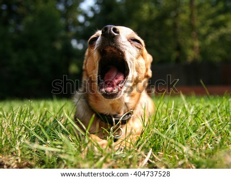 SHALLOW DOF ON OPEN MOUTH of a cute chihuahua in the grass outside in a park or backyard - stock photo