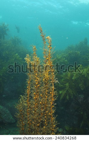 Shallow water brown seaweed with kelp forest in background - stock photo