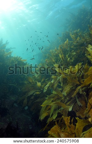Shallow water kelp forest with schools of juvenile fish and sun beams penetrating water - stock photo