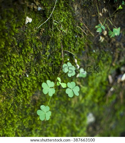 Shamrock in mistical forest - stock photo