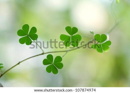 Shamrock-Three leaf clover - stock photo