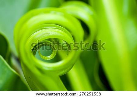 shape of Bird's nest fern - stock photo