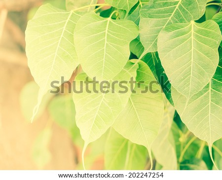 Shape of life ,Bodhi leaf texture in warm light - stock photo