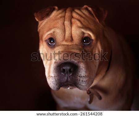 Shar pei bull mastiff cross mongrel close up facing front  - stock photo