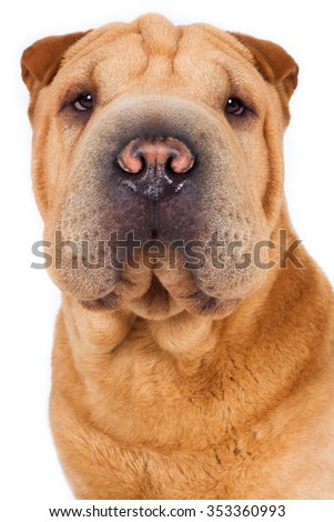 Shar Pei dog breed dog brown beige head looks attentively at the camera