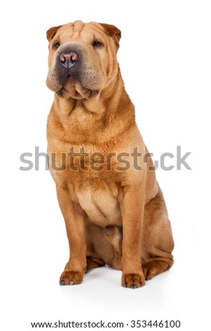 Shar Pei dog breed dog brown beige sitting on the floor and watch carefully to the side - stock photo