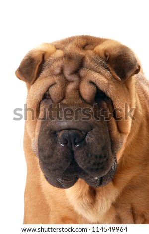 Shar Pei dog portrait in studio, isolated on white background - stock photo