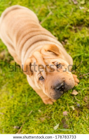 shar pei - dog puppy