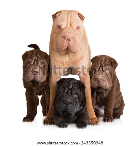 shar pei dog with her puppies