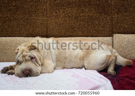 Shar pei on the couch