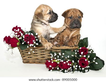 Shar pei puppy in a basket with red roses. The puppy looks like he is not going to listen to his friend, on a white background. - stock photo