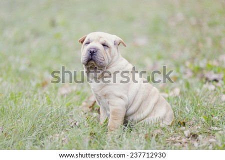 Shar Pei puppy in the open air