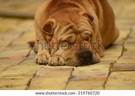 Shar-Pei sleeping - stock photo