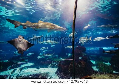 shark and ray swimming in large sea water aquarium - stock photo